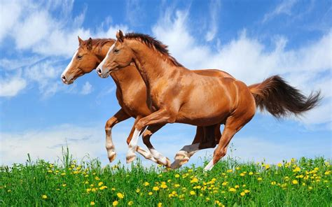 Two Red Horses Galloping In A Field With Green Grass