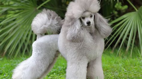 Wallpaper Poodle, grey, grass, cute animals, Animals #10144
